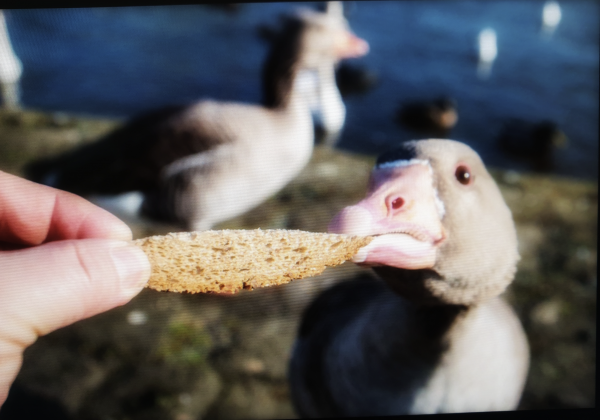 A hand feeds bread to a duck